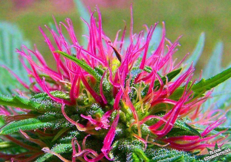 La Marihuana de color Rosa – Venta de Marihuana y Hash ...